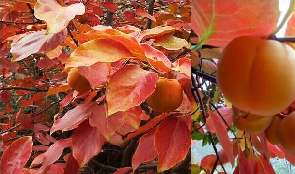 深秋:舟曲的柿子树