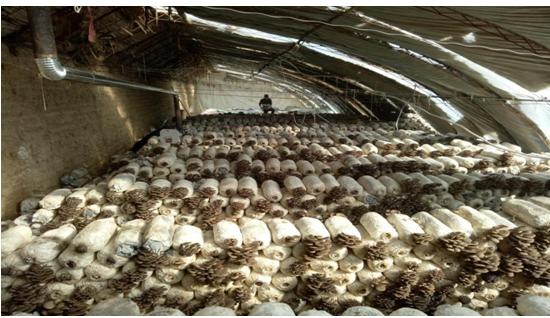 近日,卓尼县白塔村蔬菜大棚迎来了首茬平菇的采收。由于平菇质量不错,   外形美观而肉质嫩厚,采摘的450斤平菇当日就当地市场全部销售一空。   据了解,该蘑菇种植大棚已生产菌袋30000余袋,有效解决了当地280余人次的就业问题,拓宽了贫困户的增收门路,为全县早日实现脱贫奠定了坚实的基础。李四郎 摄影报道