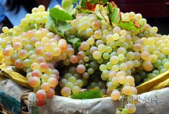 葡萄种出甜蜜日子
