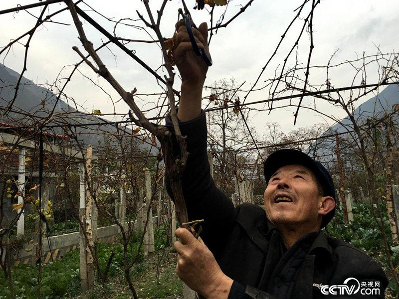 村民袁旺安正在修剪葡萄枝