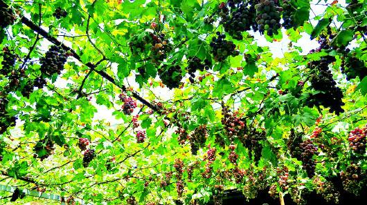 大川的葡萄熟了