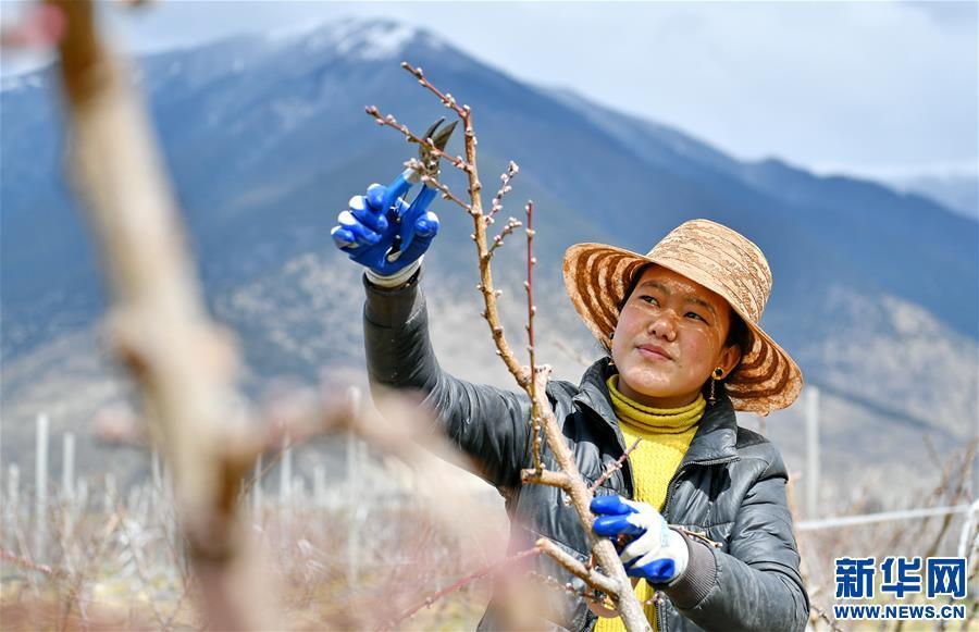 (经济)(2)西藏林芝:示范果园春来早