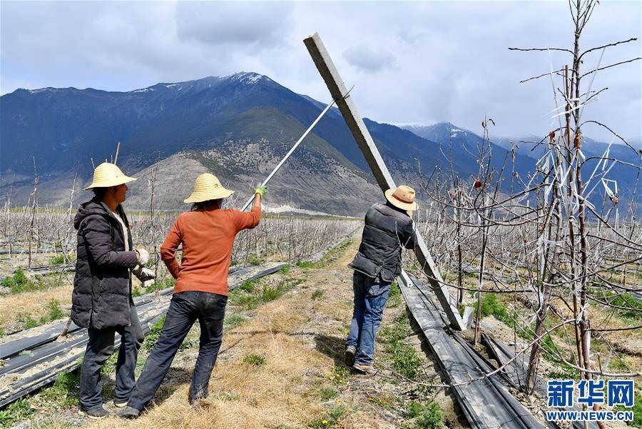 (经济)(3)西藏林芝:示范果园春来早