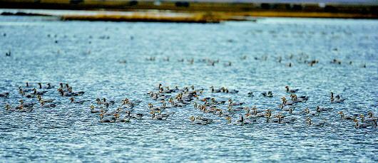 秋末冬初3万多只候鸟聚集玛曲湿地